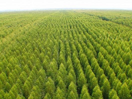 plantio-de-eucalipto-ajuda-na-sustentabilidade-630×472